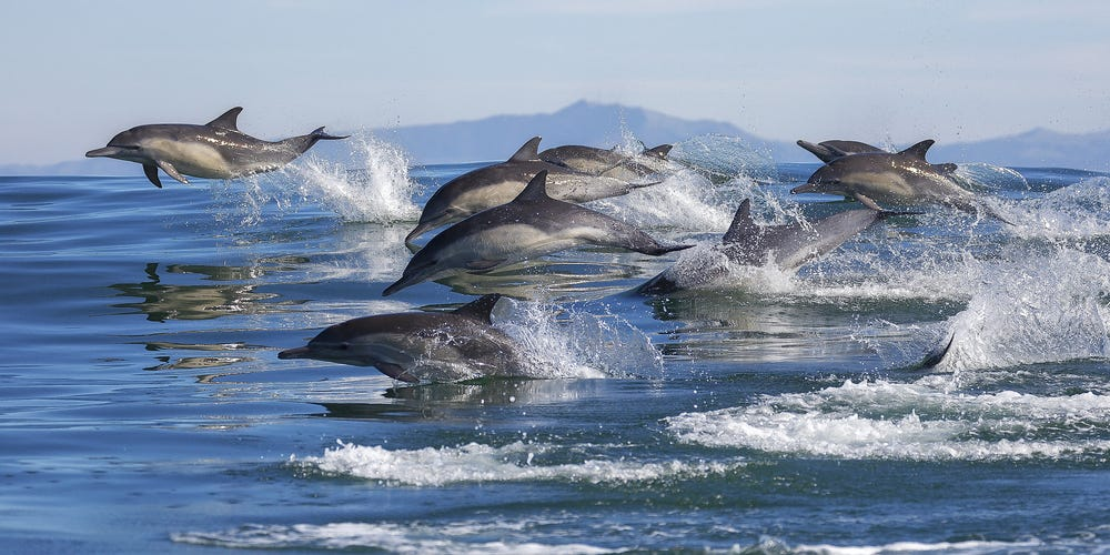 Super-Pod Of Dolphins