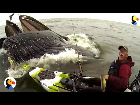 Video: Kayak Fisherman Has Very Close Encounter with a Whale — The Adventure Blog