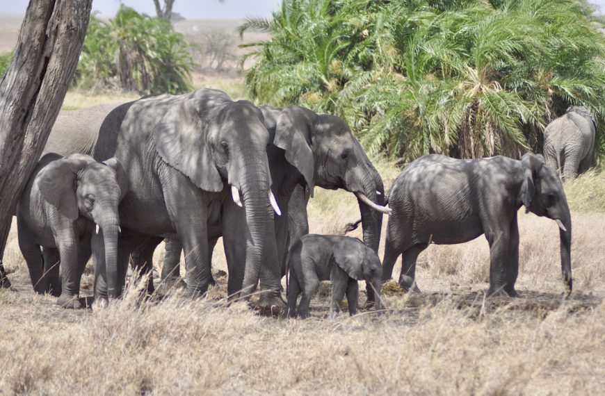 Tuskless Elephants are Now More Common in Africa Thanks to Poaching
